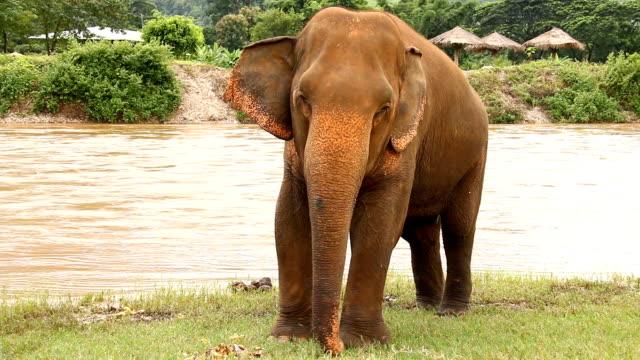 Thai elephants eating fruit, chiangmai Thailand. video