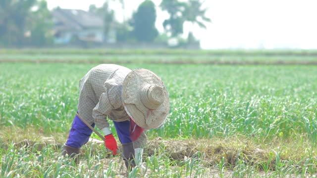 Thai giardiniere lavora nel campo all'aglio - video