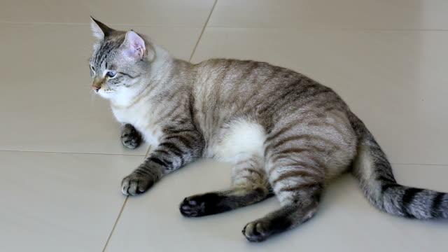 Thai imposingly beautiful cat lying on floor Thai imposingly beautiful cat lying on the floor. shorthair cat stock videos & royalty-free footage