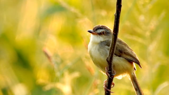 Thai little bird sitting on branch in nature wild at sunset time - video HD