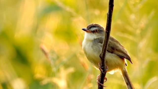 piccolo uccello tailandese seduto su un ramo nella natura selvaggio all'ora del tramonto - video hd - ramo parte della pianta video stock e b–roll