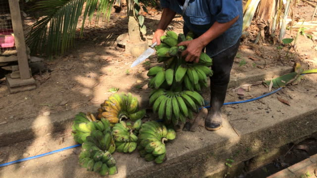 Thai man cutting ripe and raw banana fruits video