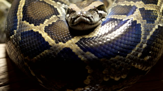 thai python snake, head close up. - snake stock videos and b-roll footage