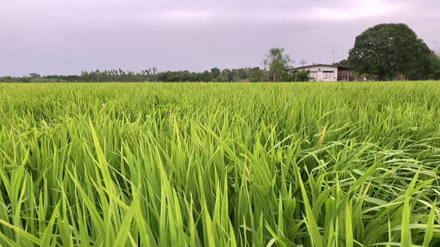 Thailand is an agricultural country video