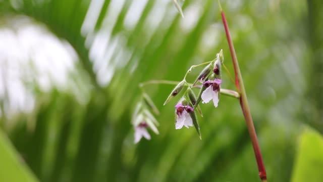 Thalia dealbata J.fraser. flower video