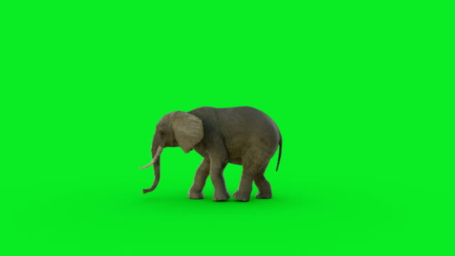 The 3D elephant animation on green screen and Hyper realistic render