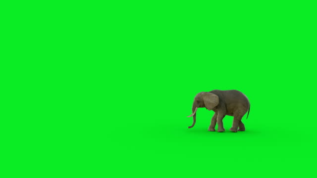 The 3D elephant walk animation on green screen and Hyper realistic render