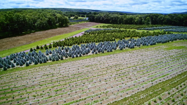 The aerial panoramic drone video of the Christmas Trees Farm in Poconos, Pennsylvania video