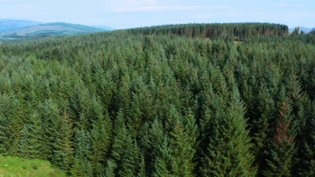 the aerial view from a drone of an area of pine forest in rural dumfries and galloway, south west scotland - jodła filmów i materiałów b-roll