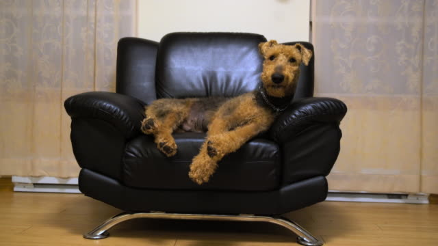 the airedale terrier dog sleeping in the chair - cagnolino video stock e b–roll