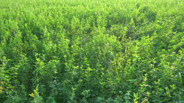 the alfalfa crop - erba medica video stock e b–roll