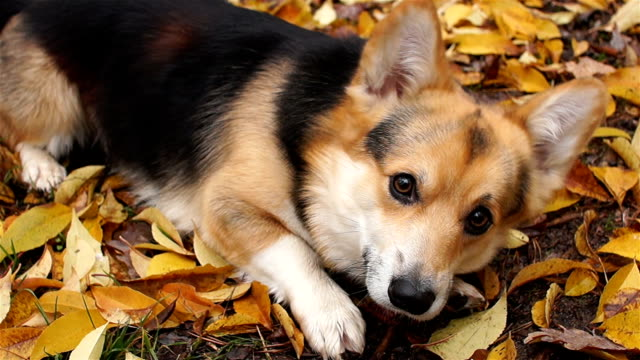 The amusing dog begs for food. Dog breed Welsh Corgi Pembroke on a walk in a beautiful autumn forest.