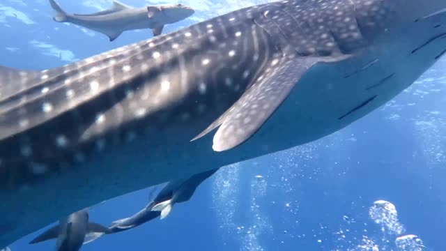 vídeos de stock e filmes b-roll de the angle back to the surface in the swimming movement of whale shark - phuket