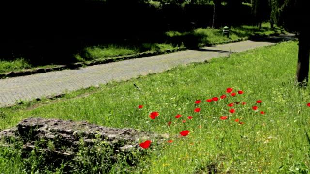 vídeos y material grabado en eventos de stock de la vía apia en roma: resorte poppies bloom - basalto