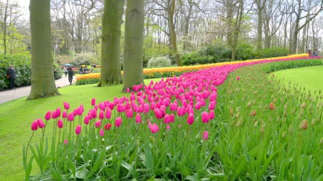 utbudet av rosa blommor och de stora träden - keukenhof bildbanksvideor och videomaterial från bakom kulisserna