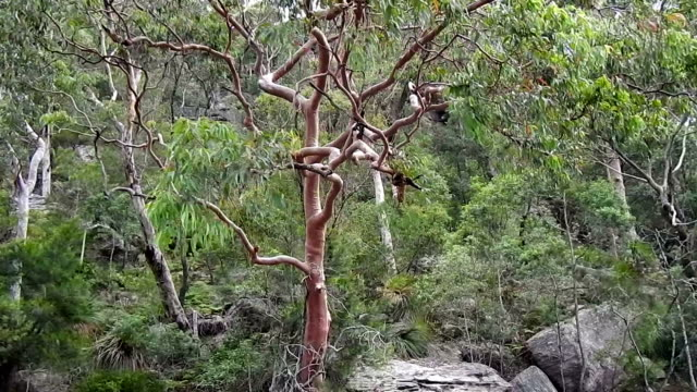 австралийское буш и angophera tree питтуотер - куст стоковые видео и кадры b-roll