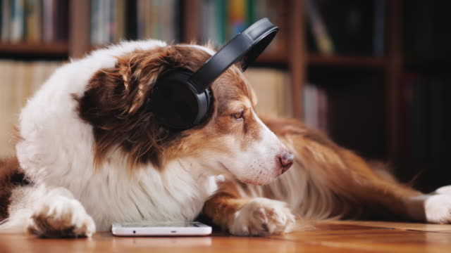 The Australian Shepherd is lying on the floor in the library, listening to music on headphones. Next to her tablet The dog enjoys a tablet in the library, listening to music on headphones. Favorite pets concept headphones stock videos & royalty-free footage