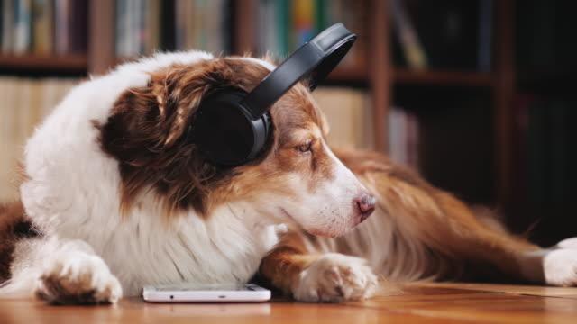 vidéos et rushes de le berger australien est allongé sur le sol dans la bibliothèque, écouter de la musique sur le casque. à côté de sa tablette - casque audio