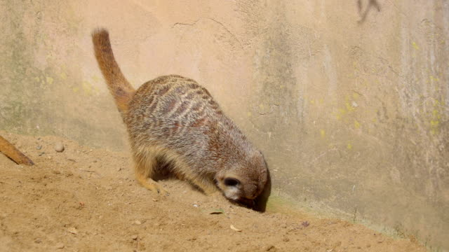 The baby raccoon scratching the soil on the ground The baby raccoon scratching the soil on the ground then stand on the wall with his back coonhound stock videos & royalty-free footage