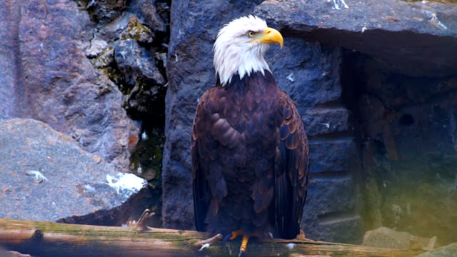 The bald eagle sits on a hillside, cleans own feathers and watching around video