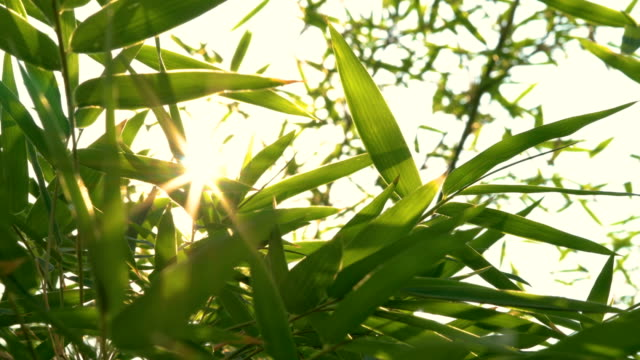 The bamboo forest that is growing up with the sunlight shining through leaves.