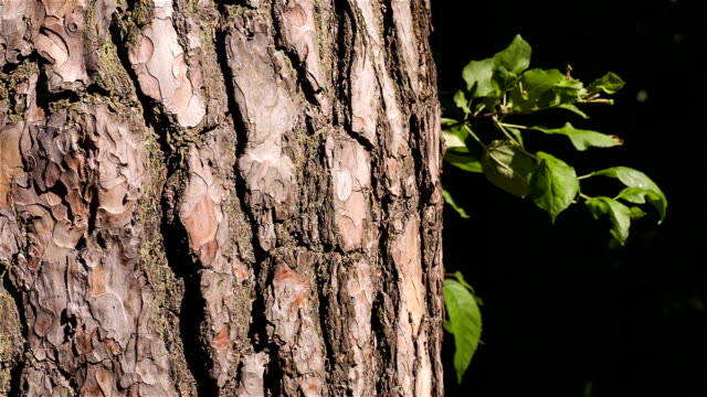 The bark of a pine closeup. Hand touches tree trunk. The bark of a pine closeup. Hand touches tree trunk. plant bark stock videos & royalty-free footage