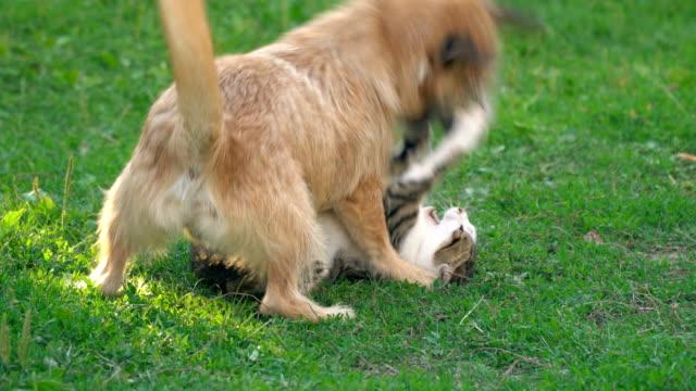 la battaglia di un cane e di un gatto - mammifero video stock e b–roll