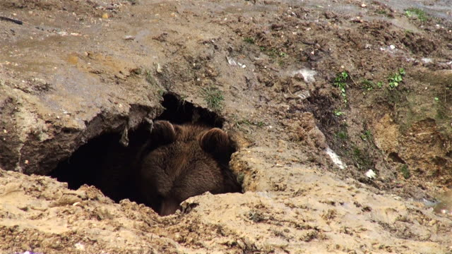 the bear digs a den into the ground in winter time - bear stock videos and b-roll footage