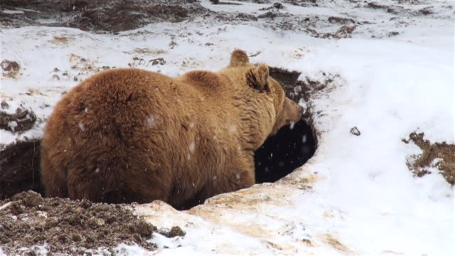 The bear digs a den into the ground in winter time The bear digs a den into the ground mammal stock videos & royalty-free footage