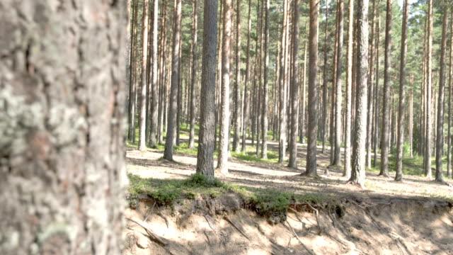 vackra spår av tallarna i skogen - fur bildbanksvideor och videomaterial från bakom kulisserna