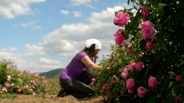 la bellezza della rosa bulgara. - agricoltrice video stock e b–roll