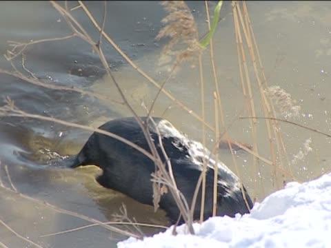 Der beaver schafft einen Damm. – Video