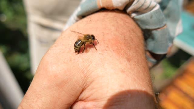 ミツバチ養蜂家のビットは、針を正しく削除します。ハチ刺されの防衛と攻撃の武器。 - 有害物質点の映像素材/bロール