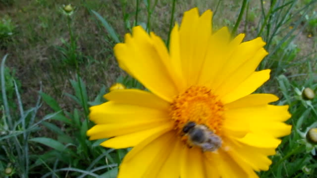 the bee close-up collects pollen on a bright yellow flower of coreopsis -26s - coreopsis lanceolata video stock e b–roll
