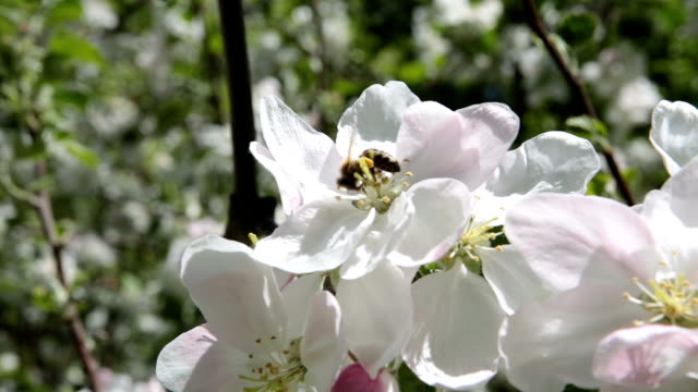 the bee pollinates the flowers of the apple tree. - pistillo video stock e b–roll