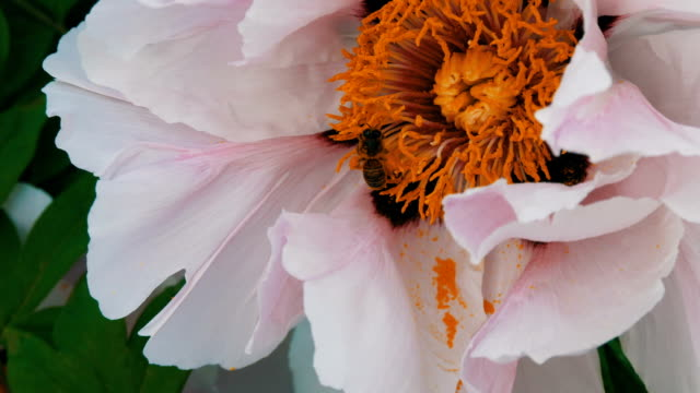 the bee with the pollen on paws on the pink flower collects the net - pistillo video stock e b–roll