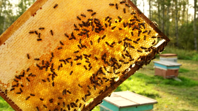 The beekeeper gets a frame from the hive.