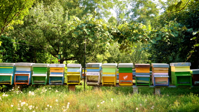 the beekeeper looks after bees, honeycombs, a lot of honey, in a protective beekeeper's beast. - alveare video stock e b–roll
