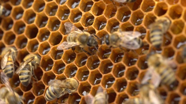 vídeos de stock e filmes b-roll de the bees store nectar in honeycomb cells made of wax - honeycomb