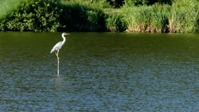 The big grey heron sitting on the stick on the lake.