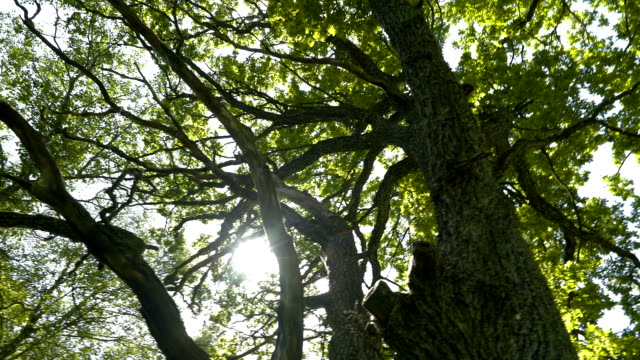 The big oak tree with the sun light ray video