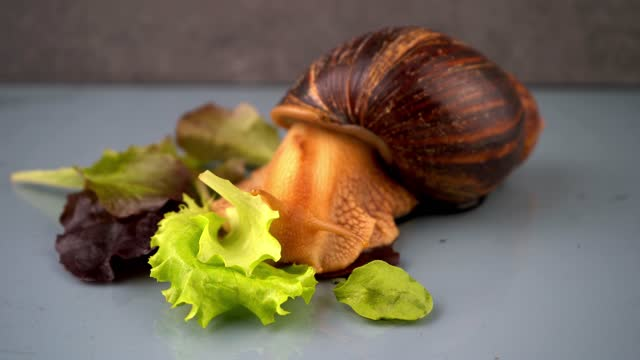 The big snail Achatina sticks out its horns from its shell to eat green salad. Food and maintenance of snails at home. Animal portrait. Giant Achatina snail crawling