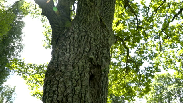 The big trunk of the oak tree video