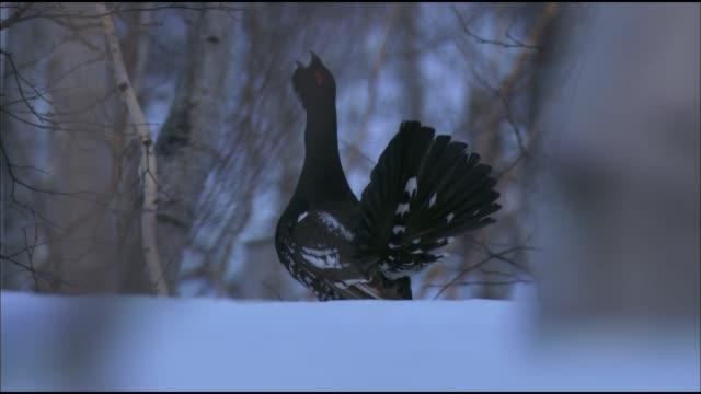den svarta ripan (lyrurus tetrix) är en vanlig fågel i fasanfamiljen som bor i skogen, skogsstäppen och delvis stäppzoner i eurasien. föremål för jakt. - tjäder bildbanksvideor och videomaterial från bakom kulisserna