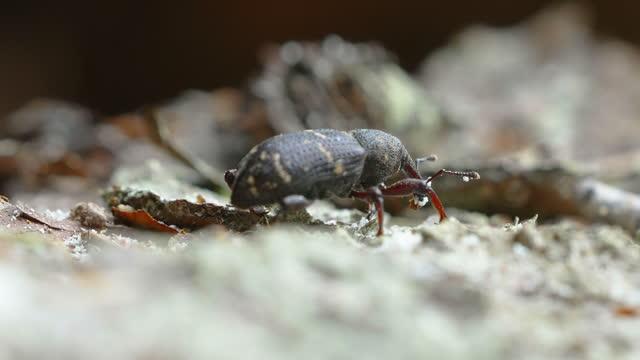 The black weevil beetle on the spruce tree