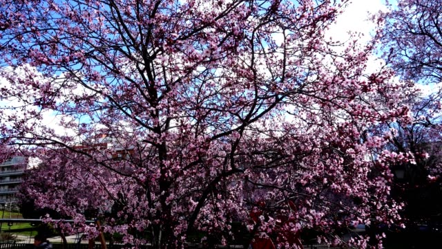 The blossoming Oriental cherry in the spring.