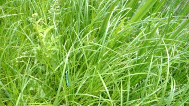 The blue dragonfly flying over the grasses