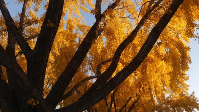 秋天銀杏葉樹的亮黃葉。 - 銀杏樹 個影片檔及 b 捲影像