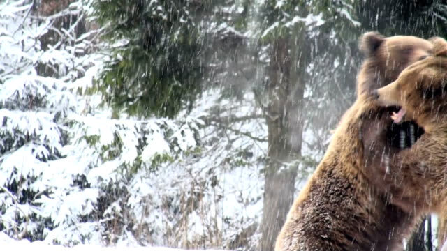 the brown bear fight in snow - bear stock videos and b-roll footage