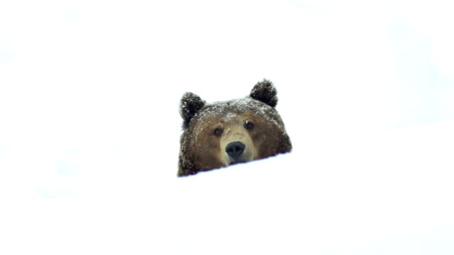 the brown bear in snow at nature winter - bear stock videos and b-roll footage